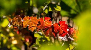 Vineyards Sonoma County Winegrowers