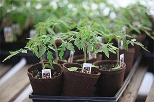 Tomato starts at Graton Community Club
