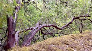 Manzanita at Pepperwood Preserve