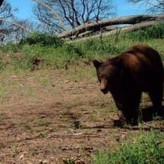 Bear Class