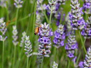 Lavender at Monte Bellaria di California in Sonoma County