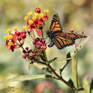 Monarch photo by Katie Gebhardt