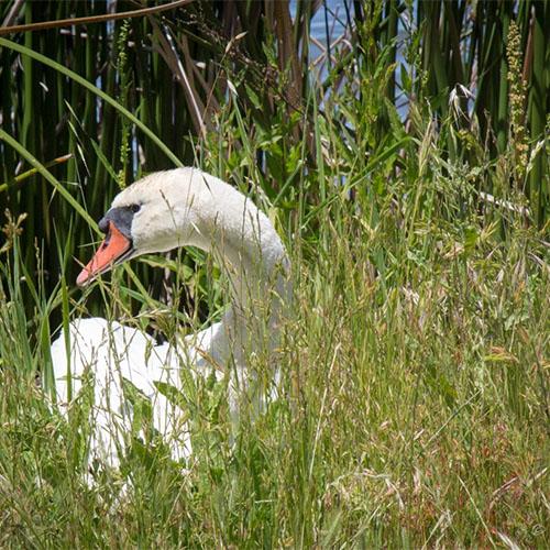 Swan at Ellis Creek Wetlands byJason Baldwin.