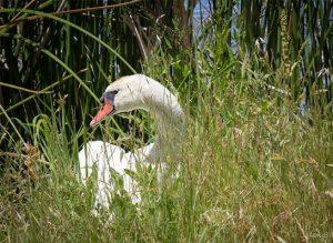 Swan photo by Jason Baldwin