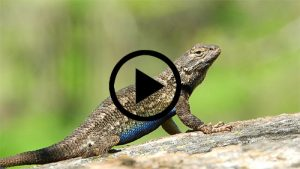 Western-Fence Lizard at Pepperwood