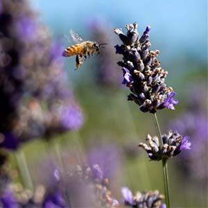 Lavender tours and workshops
