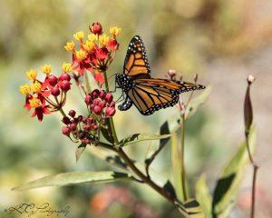 Monarch butterfly in Petaluma by Katie Gebhardt.