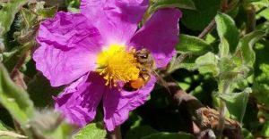 Flower - pollinators webinar by Pepperwood Preserve