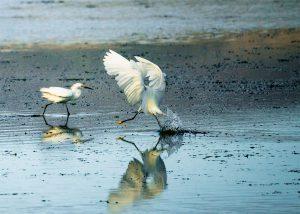 Egret in Bodega Bay, photo by Will Bakx