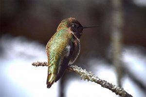Anna's hummingbird photo by Deb Hartnett