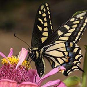 Butterfly Creating Habitat for Pollinators