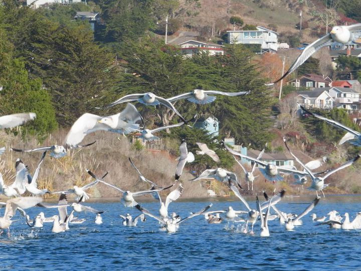 Gulls in flight at Jenner. Photo by Kathy Salangsang