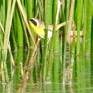 Common Yellow Throat at Ellis Creek by Willow Green.