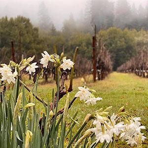 Early Paper whites blooming along a Healdsburg country road. Photo by Linda Barretta Borri.