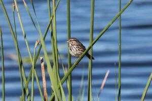 Petaluma Wetlands Alliance Bird Walks