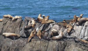 Sea Lions at Fort Ross