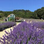 Bees N Blooms Lavender farm