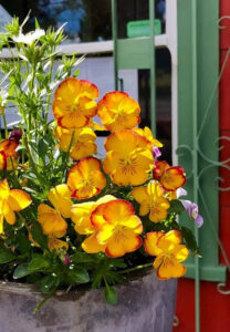 Pansies at Pascaline Patisserie, photo by Kathy Jernigan