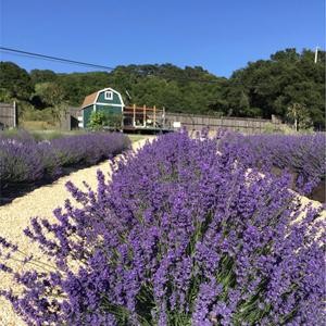 Bees N Blooms lavender
