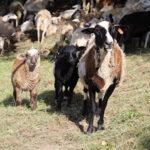 Goats at Transhumance Festival.