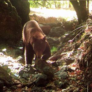 Bear presentation