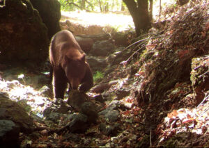 Bears in Sonoma County campfire talk
