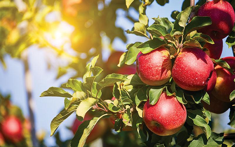 Sonoma County Farm Trails Apple Trail